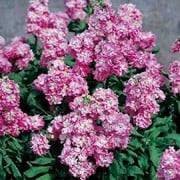 'Heaven Scent' is a compact, free-flowering short lived perennial or sub-shrub, grown as a half-hardy annual, with grey-green lance shaped leaves. In summer, it bears on sturdy stems spikes of fragrant deep pink flowers.  It is a summer flowering 10 week Stock variety.  Matthiola incana 'Heaven Scent' added by Shoot)
