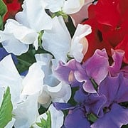 'Sweet Chariot' is a vigorous annual that climbs with the use of tendrils. It has greyish-green leaves and in spring and summer has a mix of fragrant blue, red and white flowers that commemorate the England rugby team's 2004 World Cup victory in Australia. Lathyrus odoratus 'Sweet Chariot' added by Shoot)
