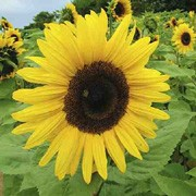 'Giant Yellow' is an annual plant with rich green leaves, grown for its enormous, dramatic, daisy-like yellow flower heads in summer. Sunflowers are popular plants for children to grow and attractive to bees and birds.  Helianthus annuus 'Giant Yellow' added by Shoot)