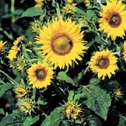 'Irish Eyes' is a long-flowering, branching dwarf annual plant with rich green leaves, grown for its dramatic, daisy-like yellow-green flower heads with brown centres in summer. Sunflowers are popular plants for children to grow and attractive to bees and birds.  Helianthus annuus 'Irish Eyes' added by Shoot)