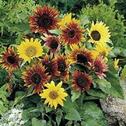 'Paquito' Mix is a bushy dwarf annual plant with rich green leaves, grown for its dramatic, daisy-like pale yellow to deep bronze flower heads with dark centres in summer. Sunflowers are popular plants for children to grow and attractive to bees and birds.  Helianthus annuus 'Paquito' Mix added by Shoot)