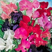 'Early Fragrance' Mix is a hardy climbing annual.  It has grey-green leaves and from mid summer to early autumn, bears a generous amount of lightly fragrant, red, scarlet, purple, rose, pink or white flowers. Early flowering. Lathyrus odoratus 'Early Fragrance' Mix added by Shoot)