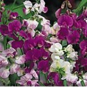 'Everlasting' is a vigorous perennial that climbs with the use of tendrils. It has greyish-green leaves and in summer and autumn, bears masses of small, pea-like flowers in shades of red, rose or white, over a long period. Lathyrus latifolius 'Everlasting' added by Shoot)