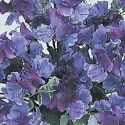 'Fragrant Skies', a Spencer Sweet pea, is a hardy climbing annual. It has grey-green leaves and from mid summer to early autumn, bears large, highly scented, navy-blue and violet bicoloured blooms. Lathyrus odoratus 'Fragrant Skies' added by Shoot)