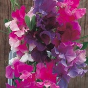 'Melody' Mix is a hardy climbing annual.  It has grey-green leaves and from mid summer to early autumn, bears sweetly scented, bicoloured purple, pink, lavender, white or cerise flowers. Lathyrus odoratus 'Melody' Mix added by Shoot)