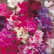'New Horizons' Mix is a hardy climbing annual.  It has grey-green leaves and from mid summer to early autumn, bears lightly fragrant, lavender, pink, purple, cerise or white flowers. Long flowering and excellent for cutting. Lathyrus odoratus 'New Horizons' Mix added by Shoot)