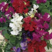 'Patio' Mix is a dwarf, hardy climbing annual. It has grey-green leaves and from mid summer to early autumn, bears a generous amount of lightly fragrant, red, pink, light blue, deep blue or white flowers on strong stems. Ideal for bedding or edging.    Lathyrus odoratus 'Patio' Mix added by Shoot)