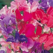 'Spencer Special' Mix is a hardy climbing annual.  It has grey-green leaves and from mid summer to early autumn, bears flowers, some fragrant, in shades of lavender, pink or red. Lathyrus odoratus 'Spencer Special' Mix added by Shoot)