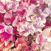 'Streamer' Mix is a hardy climbing annual.  It has grey-green leaves and from mid summer to early autumn, bears lightly fragrant, pink, mauve, red, scarlet, pale blue, violet, purple, maroon or white flowers. Lathyrus odoratus 'Streamer' Mix added by Shoot)