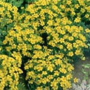 'Lemon Gem' is a neat, compact, bushy, mounding annual with an abundance of single, golden blooms that will repeat all throughout summer. Tagetes tenuifolia 'Lemon Gem' added by Shoot)