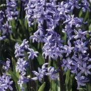 multi-flowered blue is a spring-flowering bulbous perennial.  Unlike H. orientalis, this variety bears several stems clad with fragrant, blue, bell-shaped flowers. Hyacinthus multi-flowered blue added by Shoot)