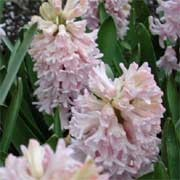 'China Pink' is a bulbous perennial with dark-green, strap-shaped leaves and a densly-packed spike of fragrant, pink, bell-shaped flowers in spring.  Hyacinthus orientalis 'China Pink' added by Shoot)