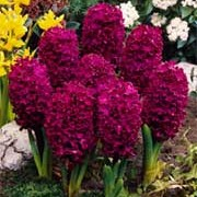 'Woodstock' is a bulbous perennial with dark-green, strap-shaped leaves and a densly-packed spike of fragrant, beetroot-purple bell-shaped flowers in spring.