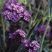 'Purple Elegance' is a hardy perennial with fine grey-green leaves that are narrow and sparse, and clusters of small, purple flowers with yellow eyes on long, strong, branching stems through summer and autumn. Verbena bonariensis 'Purple Elegance' added by Shoot)