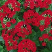 'Tukana Scarlet' is a trailing perennial, but it is usually grown as an annual. It has hairy, oblong, toothed, dark green leaves and rounded clusters of scarlet flowers that bloom in summer until autumn. Verbena x hybrida 'Tukana Scarlet' added by Shoot)