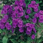 'Nicky' is an erect, herbaceous perennial with lance-shaped, mid-green leaves and upright panicles of reddish-purple to dark violet-purple flowers from summer to early autumn.