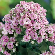 'Starburst' is an erect, herbaceous perennial with lance-shaped, dark green leaves and upright panicles of pink flowers with pale green edges from summer to early autumn.