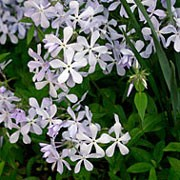 'Clouds of Perfume' is a spreading, low-growing, semi-evergreen perennial with hairy, ovate, mid-green leaves and clusters of fragrant, pale blue flowers in early summer. Phlox divaricata 'Clouds of Perfume' added by Shoot)