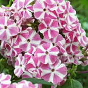 'Peppermint Twist' is an erect, herbaceous perennial with lance-shaped, dark green leaves and upright panicles of pink and white-striped flowers from summer to early autumn.