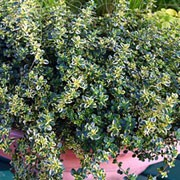 'Golden Queen' is a low-growing, evergreen shrub with lemon scented yellow and green variegated foliage and in summer bears pink flowers. Thymus x citriodorus 'Golden Queen' added by Shoot)