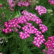 Achillea millefolium 'Cerise Queen' (13/01/2017) Achillea millefolium 'Cerise Queen' added by Shoot)