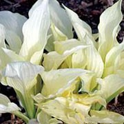 'White Feather' is a low-growing, clump-forming, herbaceous perennial with ovate, slightly elongated leaves that emerge white in spring and gradually develop green streaks as they mature. Racemes of funnel-shaped, lavender flowers bloom on narrow stalks in summer Hosta 'White Feather' added by Shoot)