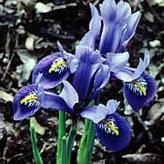 'Joyce' is a reticulata iris.  It has lance-shaped leaves and a blue flower with a yellow mark and white veins on the falls in late winter to early summer. Iris 'Joyce' added by Shoot)