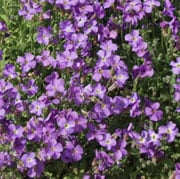 Aubrieta 'Royal Blue'