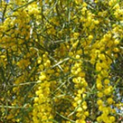 Acacia retinoides added by Shoot)