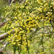 Acacia verticillata added by Shoot)