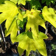 'Worleei' is a deciduous, mop-headed tree with leaves that open soft yellow in spring turning golden and finally green and yellow in autumn.  Acer pseudoplatanus 'Worleei'  added by Shoot)