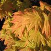 'Autumn Moon' is a a slow growing maple. Leaves are pumpkin green in spring, developing a pink halo in summer; in autumn turning variegated peach, pink and flame orange-red on the same leaf.   Acer shirasawanum 'Autumn Moon'  added by Shoot)