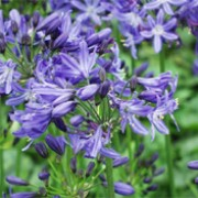'Lilliput' is a dwarf, clump-forming perennial with grass-like, narrow, strap-like, basal dark green leaves, bearing large umbels of tubular, blue flowers in summer. Agapanthus 'Lilliput'   added by Shoot)