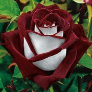 'Osiria' is a Hybrid Tea, or large-flowered bush rose with an upright habit, dark green leaves and, in summer and autumn, fragrant, double flowers with deep red inside the petals and silver-white on the outside of each petal. Rosa 'Osiria' added by Shoot)
