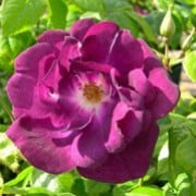 'One Promise' is a bushy, upright, shrub rose with ovate, mid-green leaves and fragrant, single, purple flowers from early summer to mid-autumn. Rosa 'One Promise' added by Shoot)