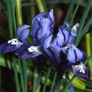 'Spring Time' is a reticulata iris.  It has lance-shaped leaves and in late winter to early spring, a blue flower with yellow and white markings on the falls. Iris reticulata 'Spring Time' added by Shoot)