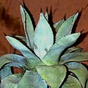 Agave parryi   added by Shoot)