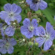 Geranium pratense 'Mrs Kendall Clark' (Meadow cranesbill 'Mrs Kendall Clark') (22/11/2014)  added by Shoot)