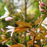 'Robin Hill' is a compact and upright, multi-stemmed, deciduous shrub or small tree with oval, mid-green leaves that turn orange or red in autumn. Flowers that open pale pink and fade to white in summer are followed by purple-black fruit in autumn. Amelanchier x grandiflora 'Robin Hill'   added by Shoot)