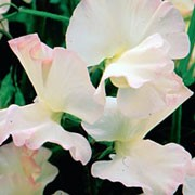 'Wedding Belle' is an annual that climbs with the use of tendrils. It has greyish-green leaves and in summer and autumn, bears scented, creamy-white flowers that are flushed pink. Lathyrus 'Wedding Belle'  added by Shoot)