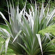 Astelia chathamica 'Silver Spear'