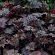 Heuchera micrantha 'Palace Purple' (07/02/2017) Heuchera micrantha 'Palace Purple' added by Shoot)