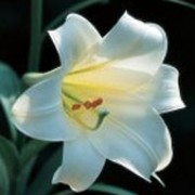 'Snow Queen' is a clump-forming bulbous perennial with leafy upright stems.  In summer, it bears fragrant creamy-white funnel-shaped flowers with recurved petals. Lilium formosanum var. pricei 'Snow Queen'  added by Shoot)