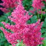 'Gertrude Brix', a mid season flowering variety, is a compact, semi-dwarf perennial with deeply-divided, deep green leaves and erect panicles of carmine-red flowers in summer. Astilbe 'Gertrude Brix'  added by Shoot)
