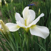 Iris sibirica 'White Swirl' (07/01/2012)  added by Shoot)