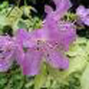 'Caerhays Lavender' is an upright, bushy, deciduous shrub with mid-green leaves, with golden-yellow new growth, and funnel-shaped light mauve flowers in late spring. Rhododendron 'Caerhays Lavender'   added by Shoot)