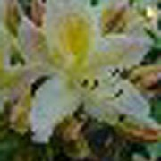 'Daviesii' is an upright, bushy, deciduous shrub with mid-green leaves and fragrant, funnel-shaped white flowers with a yellow flare in mid-spring. Rhododendron 'Daviesii'   added by Shoot)