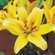 'Nove Cento' is a clump-forming perennial with deep yellow funnel-shaped flowers in summer. Lilium 'Nove Cento' added by Shoot)
