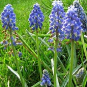 'Blue Spike' is a small clump-forming bulbous perennial.  It has linear basal leaves and in spring, bears spikes of fragrant, densly-packed, bell-shaped, blue flowers with white tips. Muscari armeniacum 'Blue Spike' added by Shoot)