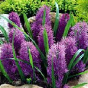 'Plumosum' is a small clump-forming bulbous perennial with basal strap-shaped leaves and spikes of airy tassled purple-blue flowers in spring. Muscari comosum 'Plumosum' added by Shoot)